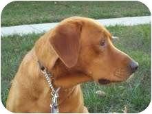 Golden Retriever/Irish Setter Mix Dog for adoption in Spring Valley, New York - Red