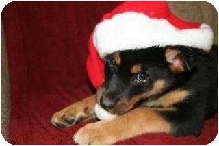 Rottweiler/Husky Mix Puppy for adoption in Surrey, British Columbia - Buddy