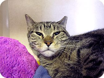 Domestic Shorthair Cat for adoption in Chicago, Illinois - Bashful