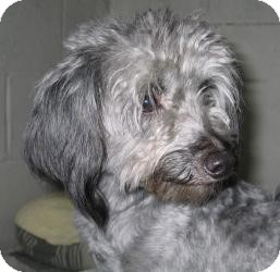 Poodle (Miniature)/Yorkie, Yorkshire Terrier Mix Dog for adoption in Crown Point, Indiana - Grover (adoption pending)