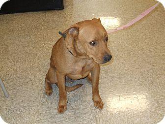 Shar Pei/Labrador Retriever Mix Dog for adoption in CLARKSVILLE, Texas - RED