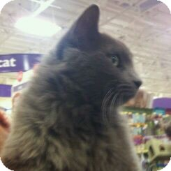Domestic Longhair Cat for adoption in Modesto, California - Courage