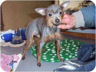 Chihuahua/Chinese Crested Mix Dog for adoption in Bloomsburg, Pennsylvania - Lola & Princess