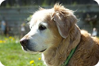 Golden Retriever Dog for adoption in Denver, Colorado - Muffin