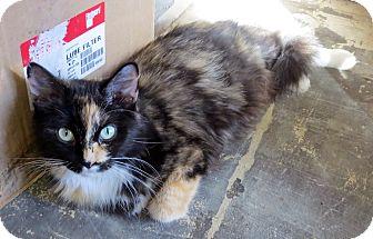 Domestic Shorthair Cat for adoption in Marseilles, Illinois - Calico Mom