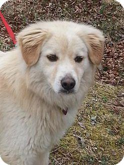Golden Retriever/Husky Mix Dog for adoption in Hagerstown, Maryland - Antonio