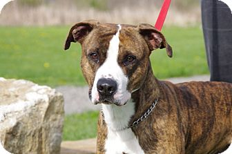 Boxer Mix Dog for adoption in Elyria, Ohio - King