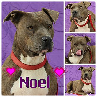Pit Bull Terrier Mix Dog for adoption in Pittsburgh, Pennsylvania - Noel