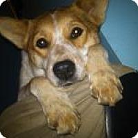 Shiba Inu/Cattle Dog Mix Dog for adoption in Springfield, Missouri - Sheba