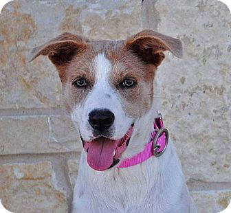 Cattle Dog/Cocker Spaniel Mix Dog for adoption in Weatherford, Texas - Lola