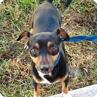 Adopt A Pet :: Gumbo - Kingwood, TX