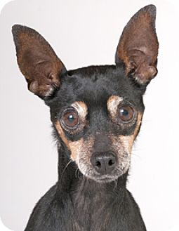 Miniature Pinscher Dog for adoption in Chicago, Illinois - Maisy