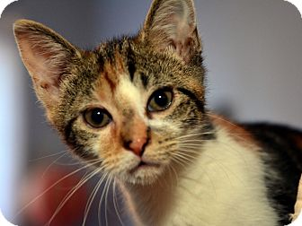 American Shorthair Kitten for adoption in Brooklyn, New York - Rhonda Walker