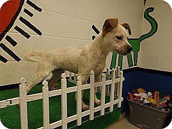 Australian Cattle Dog Mix Puppy for adoption in Laingsburg, Michigan - Jake