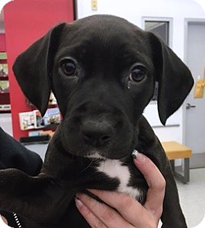 Labrador Retriever/Terrier (Unknown Type, Medium) Mix Puppy for adoption in Toledo, Ohio - Daisy