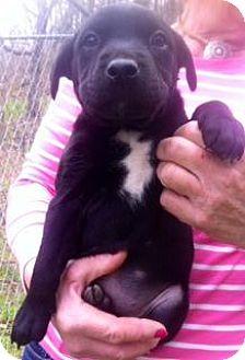 Labrador Retriever Mix Puppy for adoption in Danbury, Connecticut - Blaze