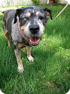 Cattle Dog/Hound (Unknown Type) Mix Dog for adoption in Manchester, New Hampshire - AVA