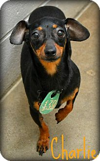Miniature Pinscher Mix Dog for adoption in Beaumont, Texas - Charlie