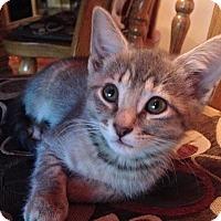 Adopt A Pet :: Katniss - Port Republic, MD