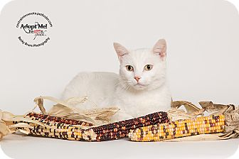 Domestic Shorthair Cat for adoption in Sauk Rapids, Minnesota - Lincoln