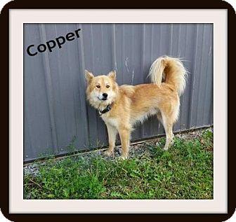 Australian Shepherd Mix Dog for adoption in Greenville, Kentucky - COPPER
