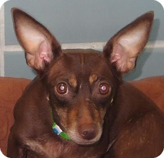 Dachshund/Chihuahua Mix Dog for adoption in Maquoketa, Iowa - CoCo