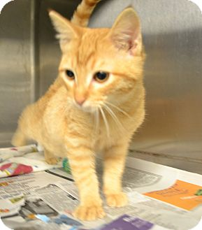 Domestic Shorthair Cat for adoption in Beaumont, Texas - Primo