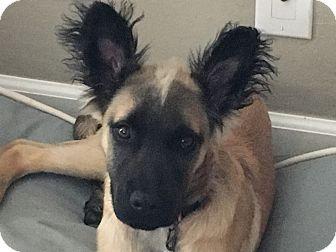 Shepherd (Unknown Type) Mix Puppy for adoption in Pleasanton, California - Nash-Adoption Pending