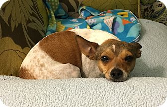 Rat Terrier/Chihuahua Mix Dog for adoption in Homewood, Alabama - Brady