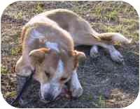 Labrador Retriever/Australian Cattle Dog Mix Dog for adoption in Carrollton, Texas - Corey
