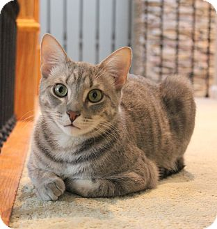 Domestic Shorthair Cat for adoption in Carlisle, Pennsylvania - Simon