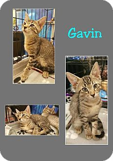 American Shorthair Kitten for adoption in North Richland Hills, Texas - Gavin