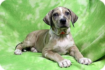 Catahoula Leopard Dog/American Bulldog Mix Puppy for adoption in Westminster, Colorado - GENE