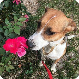 Labrador Retriever/German Shepherd Dog Mix Dog for adoption in Spring Valley, New York - BG  (ETAA)