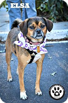 Pug/Beagle Mix Dog for adoption in Kimberton, Pennsylvania - Elsa
