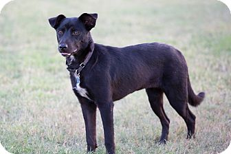 Labrador Retriever Mix Dog for adoption in Houston, Texas - Matilda