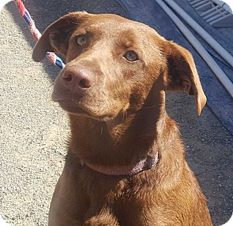 Border Collie Mix Dog for adoption in Corning, California - DANCER