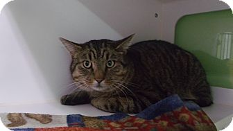 Domestic Shorthair Cat for adoption in Muskegon, Michigan - felix