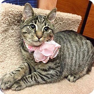 Domestic Shorthair Kitten for adoption in Long Beach, New York - Lila