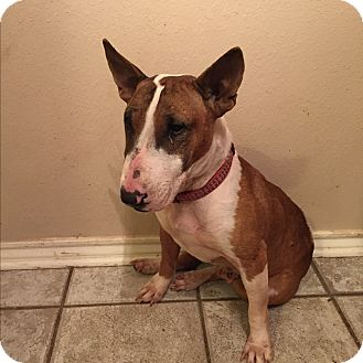 Bull Terrier Dog for adoption in Dallas, Texas - Layla