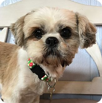 Shih Tzu Mix Dog for adoption in Studio City, California - Beauty