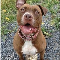 Pit Bull Terrier Dog for adoption in Stroudsburg, Pennsylvania - Shortcake