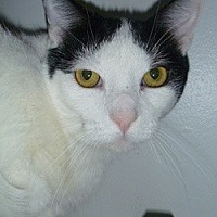 Domestic Shorthair Cat for adoption in Hamburg, New York - Steve