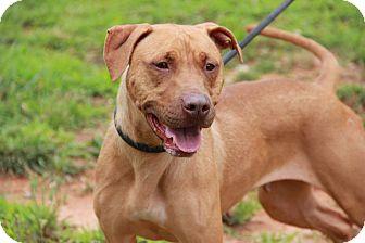 Pit Bull Terrier/Retriever (Unknown Type) Mix Dog for adoption in Greensboro, North Carolina - Clara