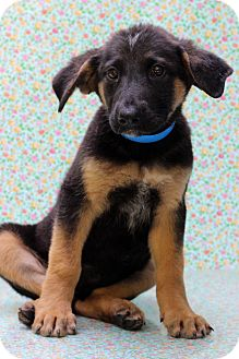 Shepherd (Unknown Type) Mix Puppy for adoption in Waldorf, Maryland - Oscar