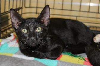 Domestic Shorthair/Domestic Shorthair Mix Cat for adoption in Houston, Texas - RAZZLE DAZZLE