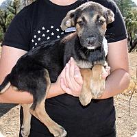 Adopt A Pet :: PINE TREE PUPS F - Corona, CA