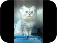 Persian Cat for adoption in Tampa, Florida - Sylvia