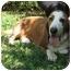 Photo 2 - Basset Hound Dog for adoption in Folsom, Louisiana - George-HELP NEEDED!