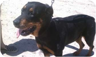 Rottweiler Mix Dog for adoption in Fresno, California - Betty